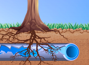 Tree roots growing into a sewer line repair area